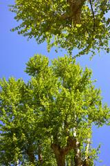 Albero di Platano, foglie chioma e tronco