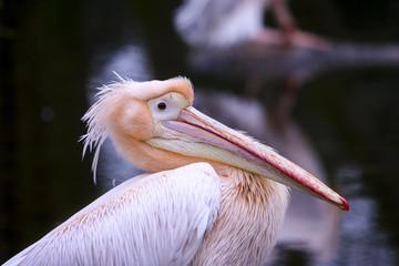 Portret roze pelikaan.