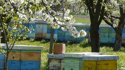 Beekeeping, beehives in the blooming cherry orchard