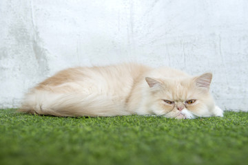 white persian cat sleeping on artificial turf