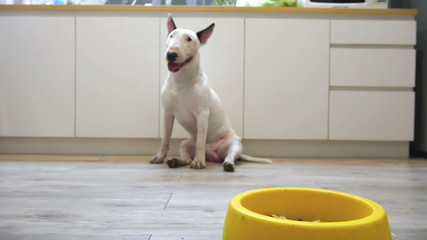 Dolly shot to bull terrier dog eat food in yellow bowl