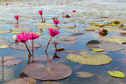 Foto op Aluminium Lotusbloem pink lotus in lotus swamp at