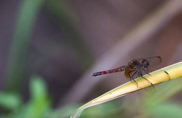 Cherry-faced Meadowhawk dragonfly rests on a branch