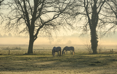 Horses in a meadow on a foggy morning in the countryside.