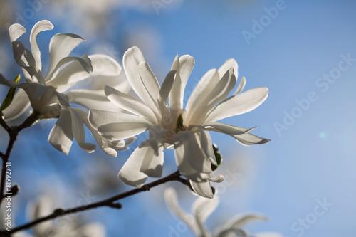 Fotobehang Magnolia Magnolia soulangeana Alba Superba