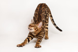 Bengal Cat Waking up