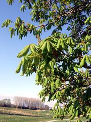 junge Kastanienblätter