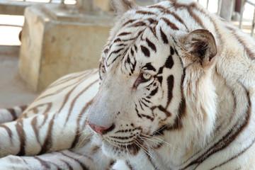 Closeup shot of white bengal tiger
