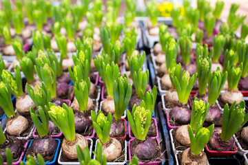close up of hyacinths seedlings at greenhouse