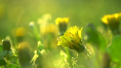 Spring field. Dandelion flowers closeup. Full HD 1080p
