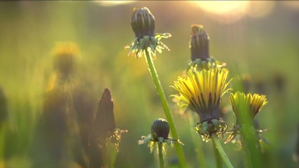 Spring field. Dandelion flowers closeup. Slow motion