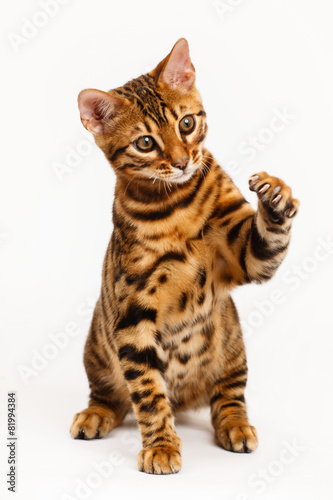 Poster Luipaard Bengal Cat playing