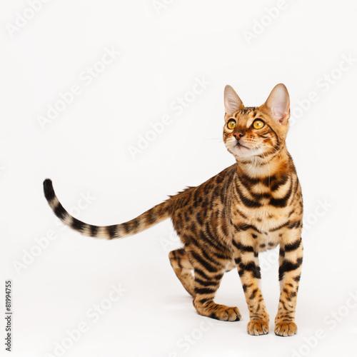 Foto op Canvas Luipaard Bengal Cat