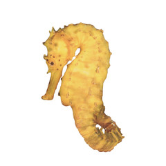 Yellow Tigertail Seahorse isolated on white background