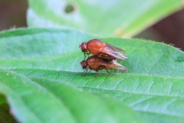 breeding Blow fly