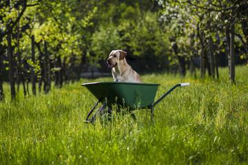 Labrador retriever biondo su carriola