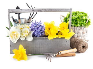 Spring flowers in wooden box with garden tools. Isolated on