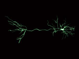 Neuron, pyramidal