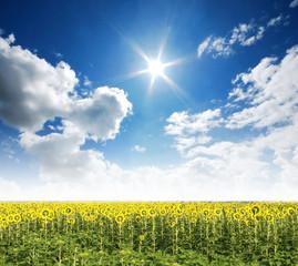 Sunflower in the sunlight time