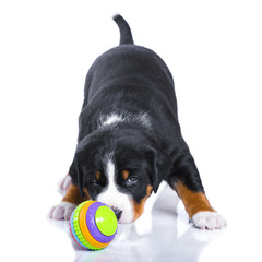 One-month puppy Appenzeller Sennenhund with toy isolated on whit