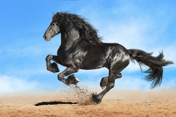 Running gallop Andalusian black horse