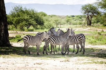 Zebras in Baobab s Shadow