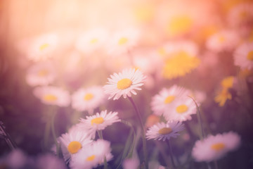 Summer meadow with wild daisy flowers and dandelions