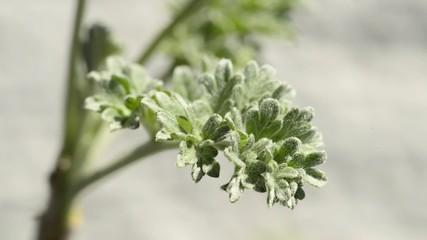 Wermut, frische Pflanze