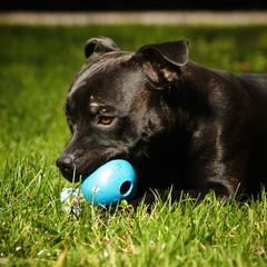 Staffordshire bull terrier playing with toy