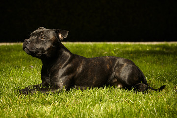 Staffordshire bull terrier laying in grass