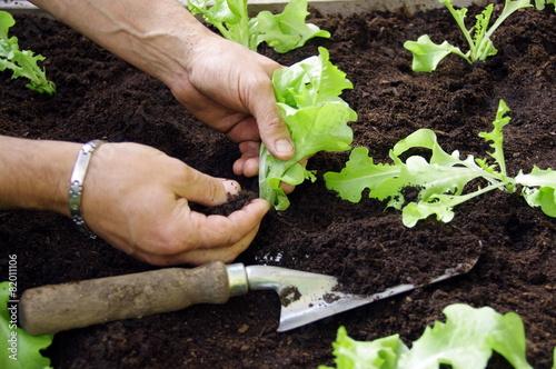 Fotobehang Tuin carré potager-plantation de salades