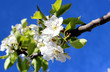 cherry bloom