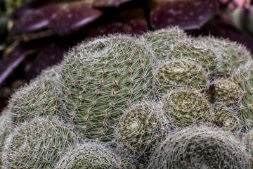 echinocactus cactus Pianta  Macro cactus  Piante grasse