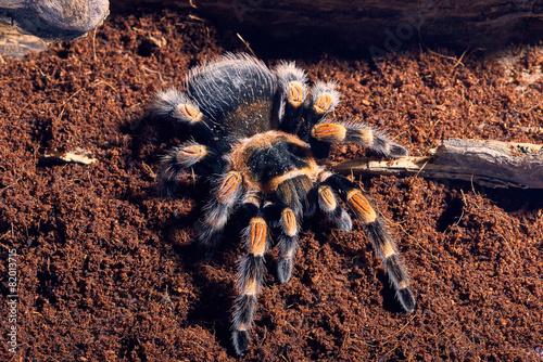 Fototapeta Mexican red knee tarantula