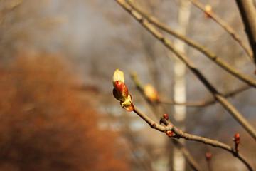 spring chestnut beginnings