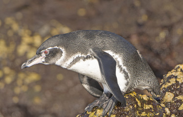 Galapagos Penguin Ready to Dive in the Ocean
