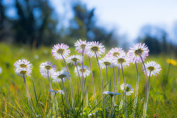 soft focus daisy flowers during springtime