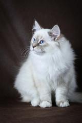 Neva masquerade kitten on brown background