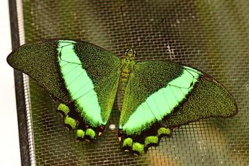 Emerald swallowtail butterfly portrait.
