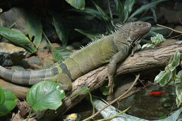 A Green Iguana lazes about in the jungle setting.
