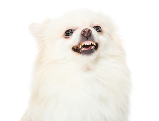 Pomeranian dog feeling angry