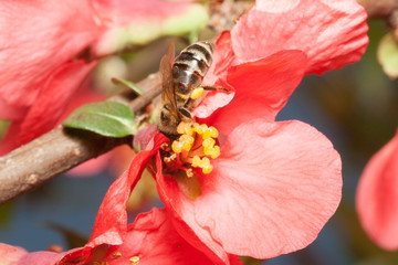 Bee collects nectar on the flowers of Japanese quince (Chaenomel
