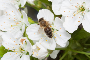 Beeis on the flowers of cherry.