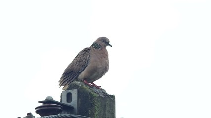 a spotted dove perched and looking around on the cement pole