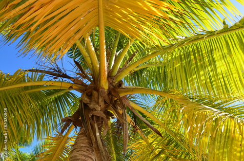 Papiers peints Palmier palma da cocco