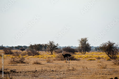 Plexiglas Struisvogel Deserto del Kalahari, Botswana, Africa