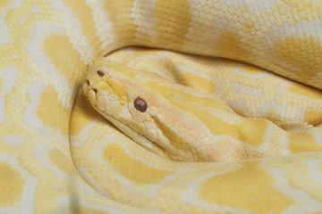 Gold Python,Albino snake.