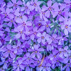 violet spring flower background