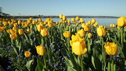 Yellow Spring Tulips, English Bay, Vancouver