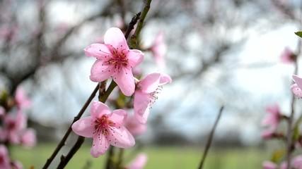 Цветущее дерево в саду